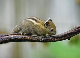 一组身手敏捷的花栗鼠图片