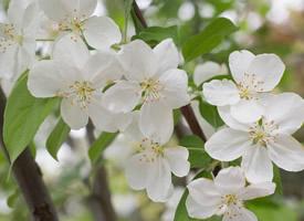 一组欧洲甜樱桃花图片欣赏