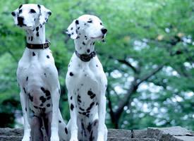 一组黑白斑点的大麦町犬图片