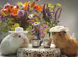 可爱萌宠豚鼠桌面壁纸