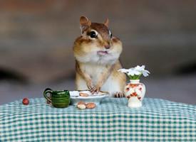 萌萌的西伯利亚花栗鼠桌面壁纸