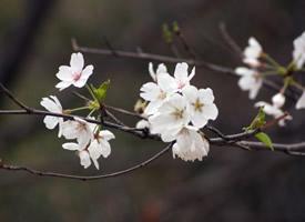 绚烂盛开的唯美樱花桌面壁纸