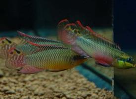 活泼可爱的翡翠凤凰鱼