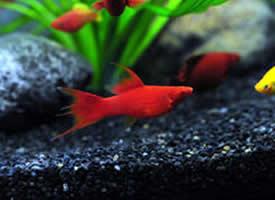 一组红玛丽鱼图片