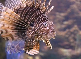 美味的狮子鱼图片