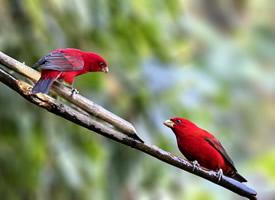 极品红色鸟类—血雀