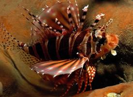 五彩斑斓的狮子鱼