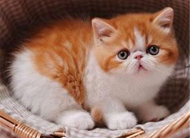 乖巧可爱的加菲猫图片