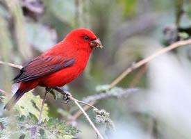 喜欢群居的血雀鸟图片