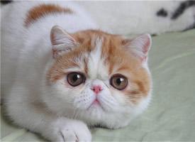 加菲梵文猫图片