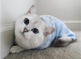 世界最美的蓝眼coby猫图片