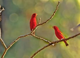 站在树枝上的血雀图片