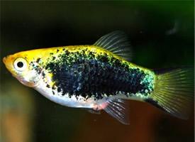 最适合新手饲养的热带鱼—月光鱼