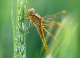 几只不一样的蜻蜓图片
