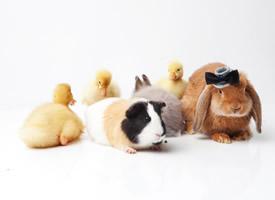 小鸭子和豚鼠图片欣赏
