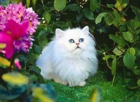 一组漂亮的波斯猫图片