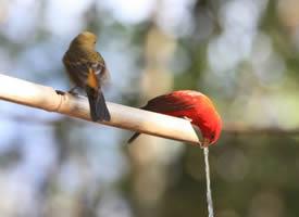 美丽的血雀鸟图片