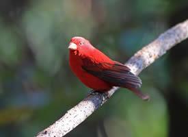 活泼可爱的血雀鸟图片