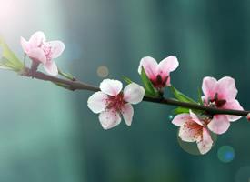 唯美盛开的桃花图片桌面壁纸