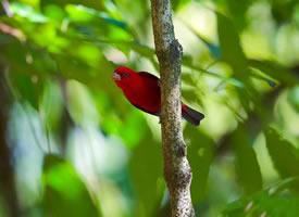 漂亮的红色血雀图片