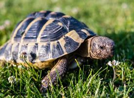 正在慢慢前进的乌龟图片