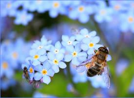 正在辛勤工作的蜜蜂图片
