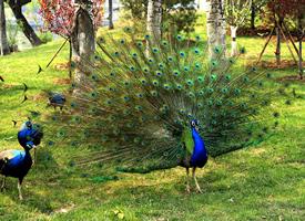 最美丽的蓝孔雀开屏图片