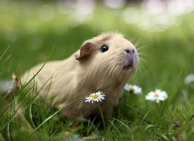 青青草地里的豚鼠图片欣赏