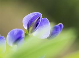 一组紫色豌豆花图片欣赏