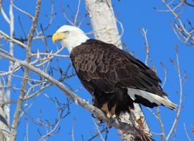 白头鹰头部近距离拍摄图片