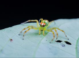来自热带雨林的白斑艾普蛛图片