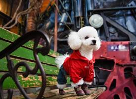 穿红衣过新年的白色泰迪图片