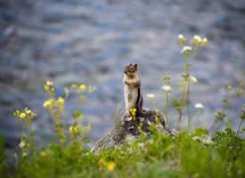 春天里可爱的花栗鼠图片