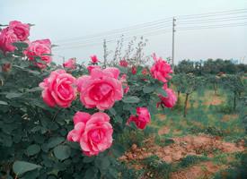 种植园里的玫瑰花已盛开图片