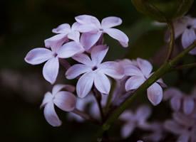 唯美紫色丁香花图片欣赏