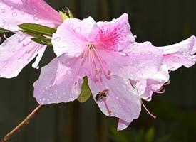 花色绚丽的杜鹃花图片