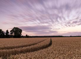 秋季金色的麦田风景图片