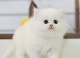 好看的波斯猫图片