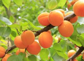 营养价值特别高的杏子图片