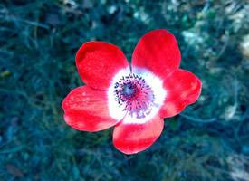 色彩鲜艳的银莲花图片