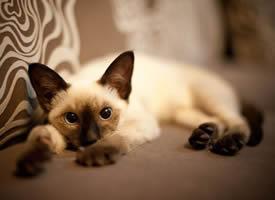 一组暹罗猫图片欣赏