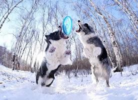 在雪地开心的玩飞盘的边牧