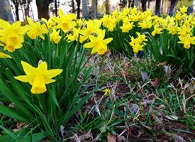 唯美优雅的金黄色水仙花图片