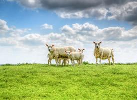 草原上温顺的绵羊图片欣赏