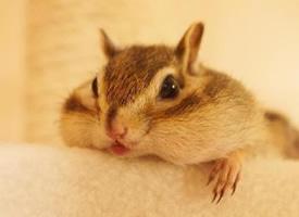 个头小但非常能吃的花栗鼠图片