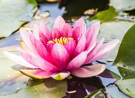 一朵佛教红莲花图片欣赏