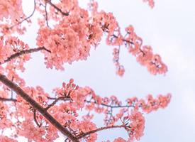 粉色樱花少女心高清手机壁纸