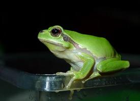 一组活泼的绿色雨蛙图片欣赏