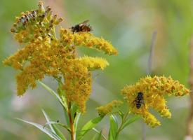 一组勤劳的蜜蜂采蜜图片欣赏