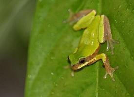 专吃害虫的绿色雨蛙图片欣赏